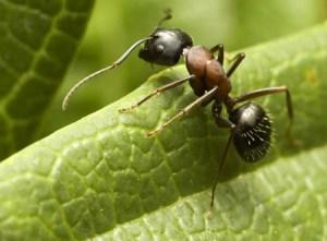 Мравката е съществото с най-голям мозък