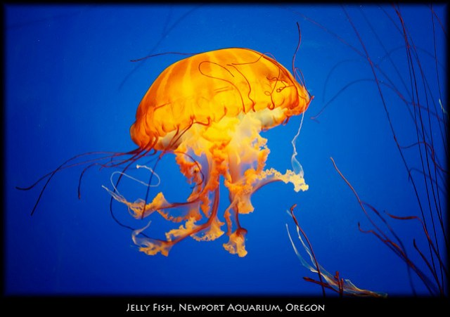 Jelly Fish Seen in the Newport aquarium in Oregon.