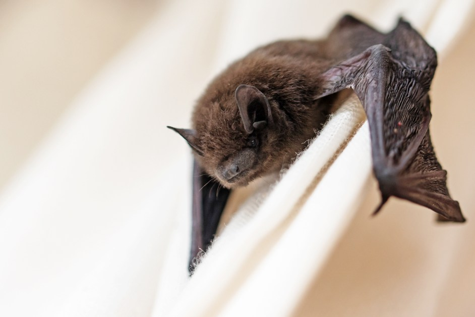 Animal Names In French — Bat