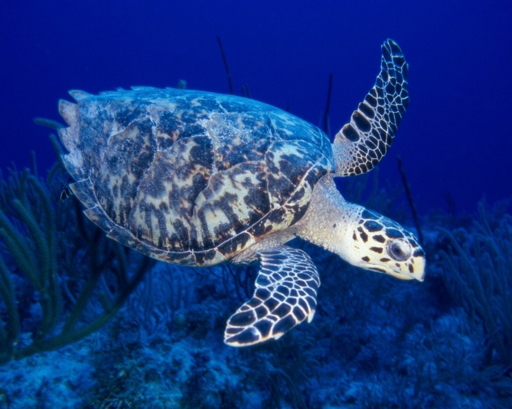 Sea Turtle Live Hd Wallpapers