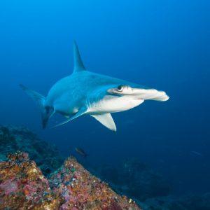 Hammerhead shark swimming