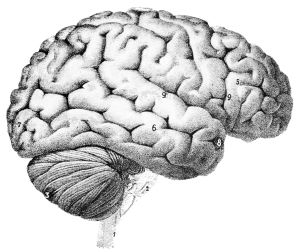 Outer surface of the human brain.