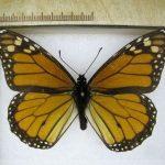 Monarch Butterfly specimen