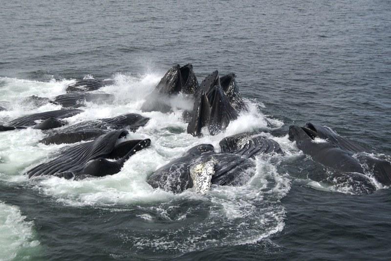 Humpback Whales Feeding 2
