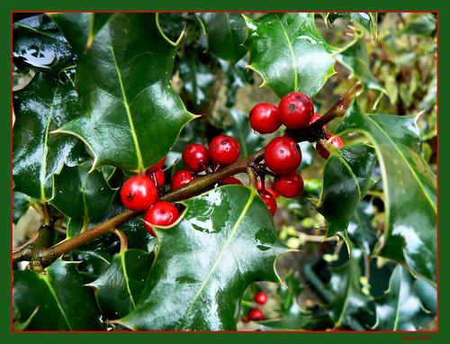 Acebo / Holly tree
