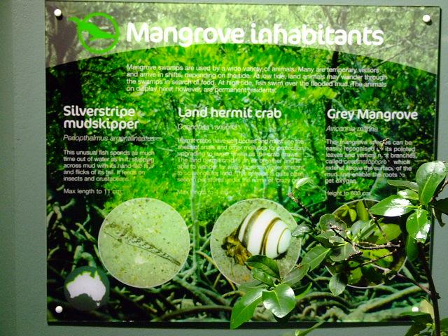 Land Hermit Crabs in Mangrove environment at Sydney Aquarium, Darling Harbour