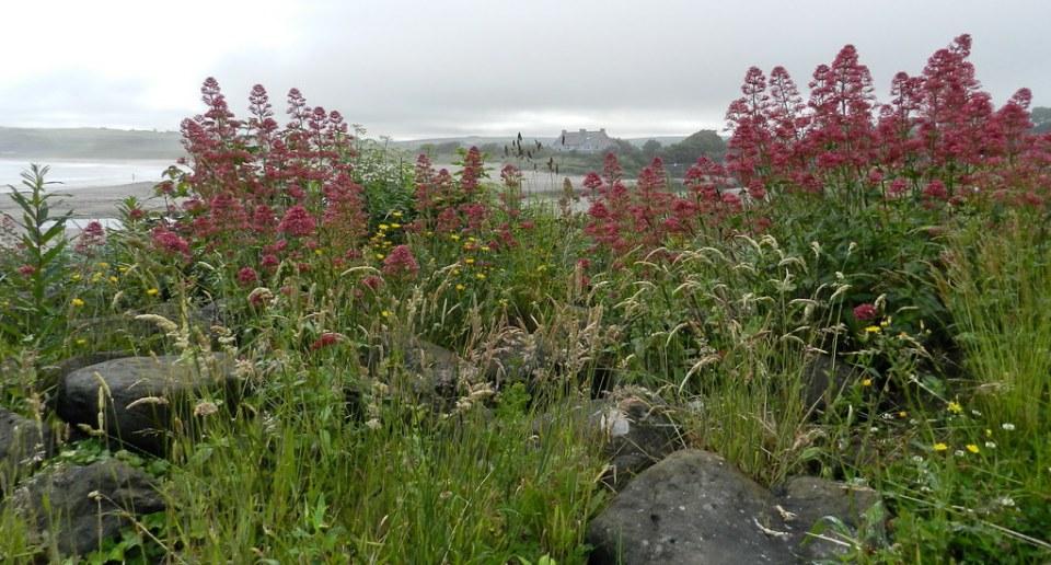 flora de Ballycastle Irlanda del Norte 04