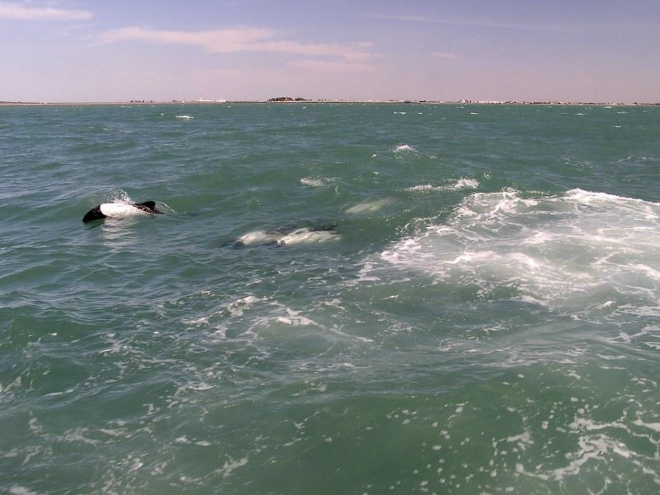Delfin de Commerson o tonina overa Puerto de Rawson Chubut Argentina 64