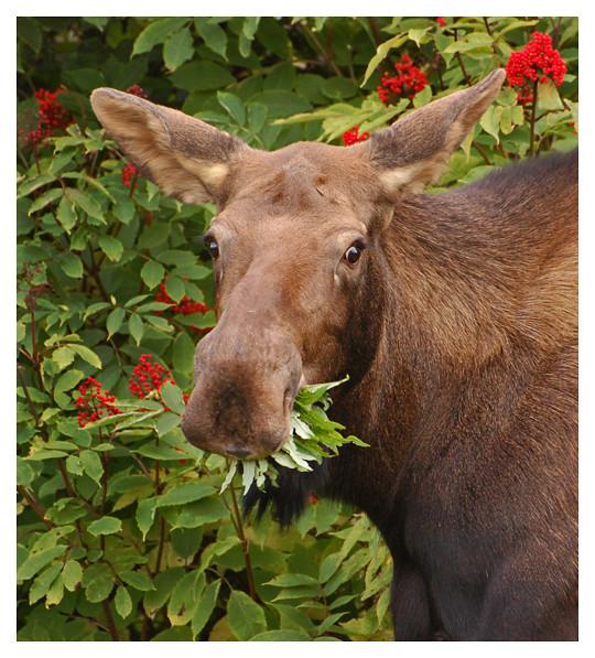 Town Moose
