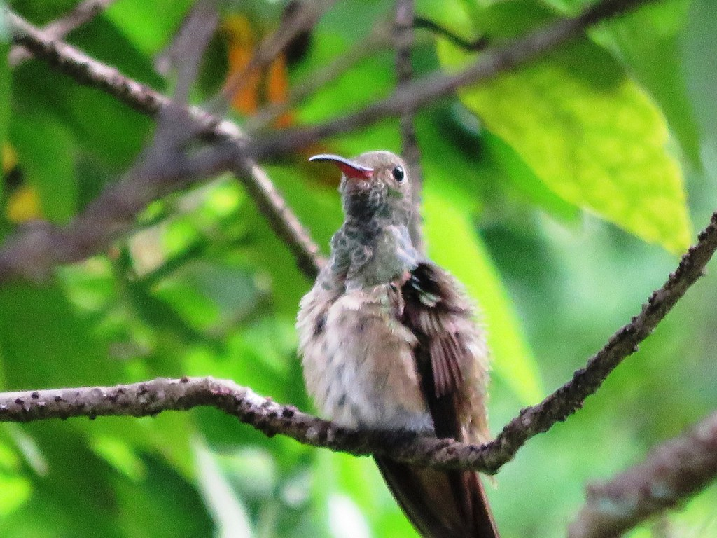 Buff Bellied Hummingbird At Castellow Hammock Park Fl 01