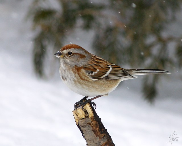 Photograph of a songbird perched on a stick while snowing.