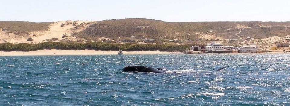 ballena Franca Austral Puerto Piramides Peninsula Valdes Argentina Patrimonio de la Humanidad Unesco 103