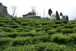 tea gardens darjeeling photo