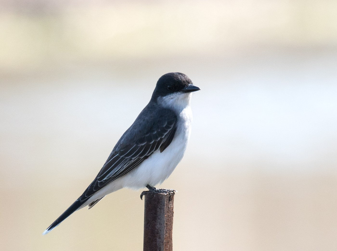 Eastern Kingbird on a Pole