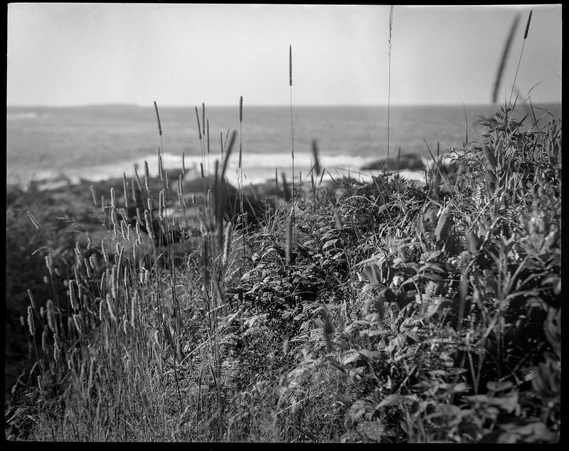 wild shore grasses and ground cover, ocean, Pemaquid Point, Maine, Koni Omega Rapid 100, Super Omegon 90mm f-3.5, Arista.Edu 200, Ilford Ilfosol 3 developer, 7.19.18