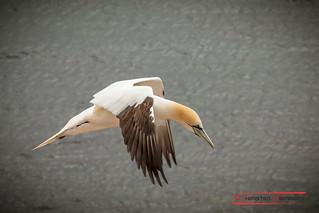Basstölpel auf Helgoland/ Northern Gannet (Morus bassanus)
