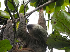 Mother sloth (2)