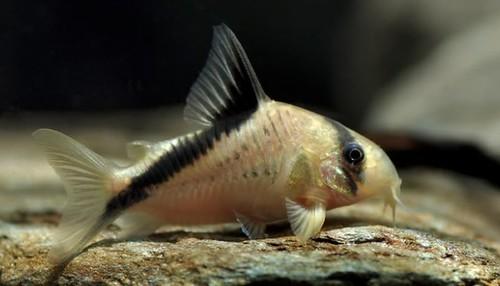 Melini Fish
