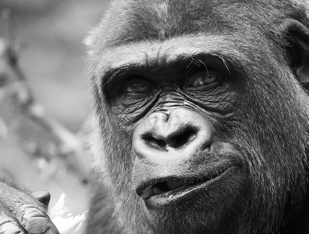 A Gorilla In New York