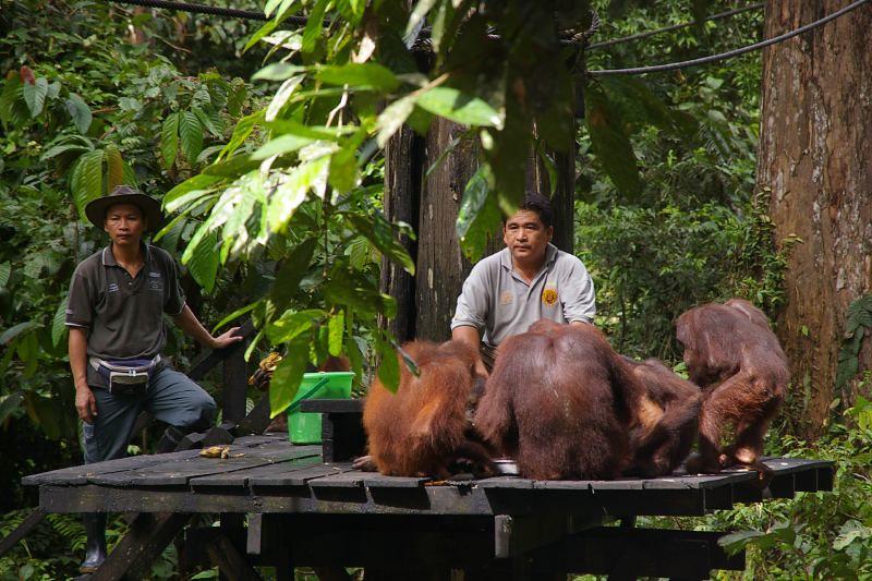 Keepers and Orangutans on the feeding platform