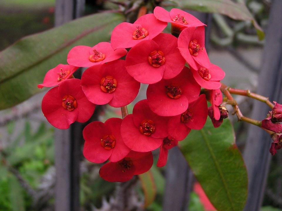 flores Espinas de Cristo Euphorbia milii Jardin Canario Las Palmas de Gran Canaria 41