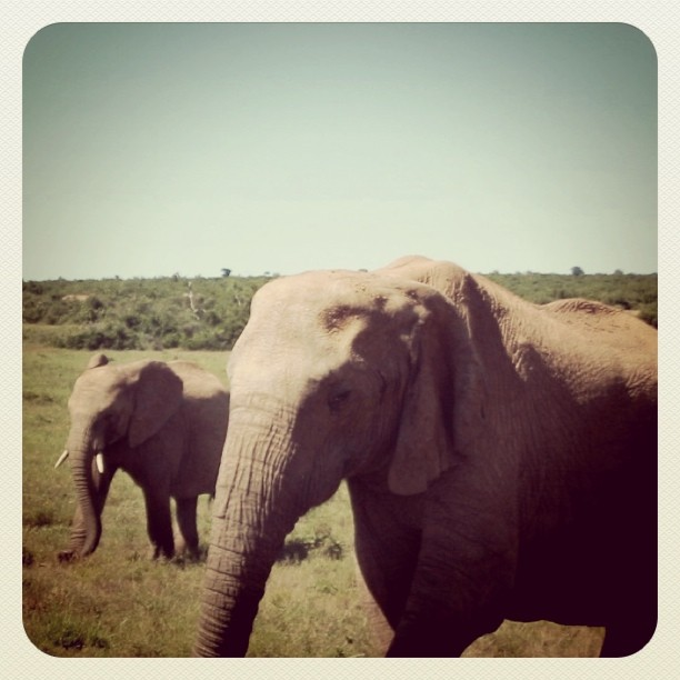 Elephants in Addo Park, South Africa