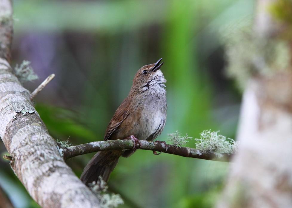 臺灣叢樹鶯 Taiwan Bush Warbler-臺灣特有種   臺灣叢樹鶯Taiwan Bush Warbler 學…   Flickr