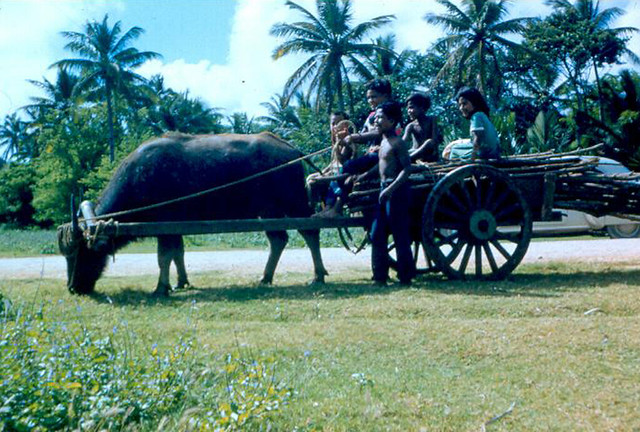 Karabao Transport, 1950s