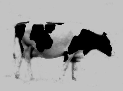 Moo Cow dsc_0113