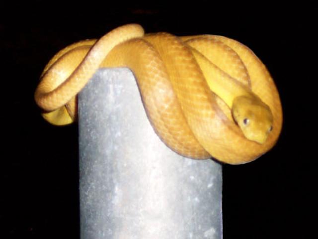 Brown Tree Snake