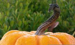pumpkin-top