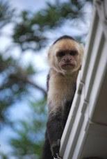 Kaputchin Monkey