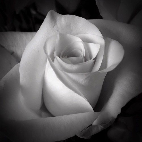 49/365 Rose