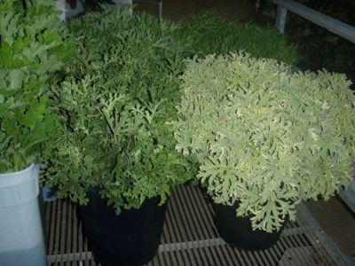 geranium, scented, varigated