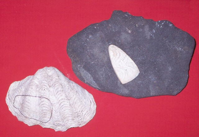 Shell Adze From Clam Shell
