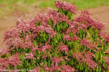 Pink Pieris Japonica