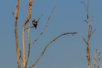 maar we moesten het weer doen met adelaars (of haviken)