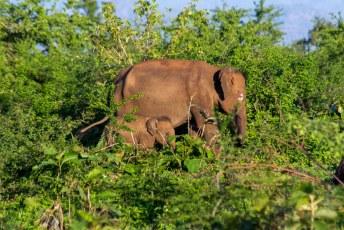 veel olifanten