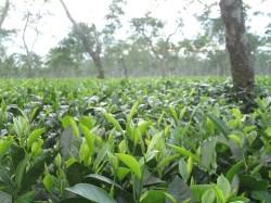 Assam Tea Gardens photo