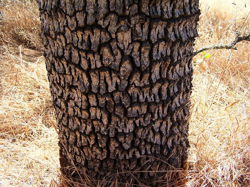 Oak Tree bark, Snipes Ravine