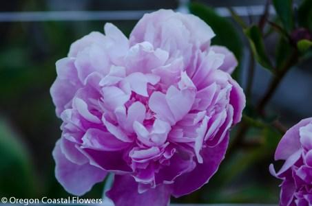lavender peony-1