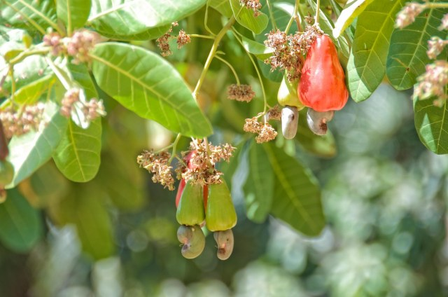 cashew tree | one of the many fruit trees on the grounds of … | Flickr