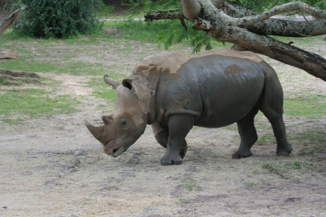 Rhinoceros on Kilimanjaro Safari - Animal Kingdom - Walt Disney World