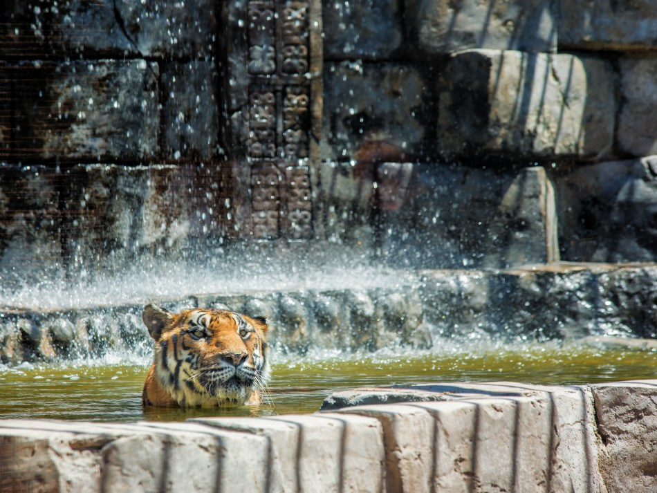 Bengal Tiger Bath