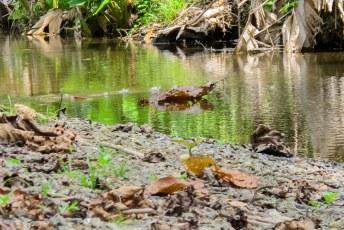 Maar de Jezus Christ Lizard heeft zelfs geen brug nodig. Hij kan over het water kan lopen.