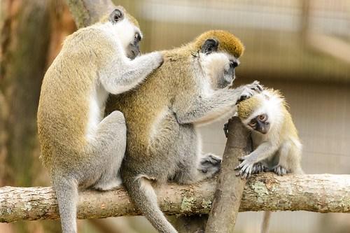 Grivet Monkey Family Grooming
