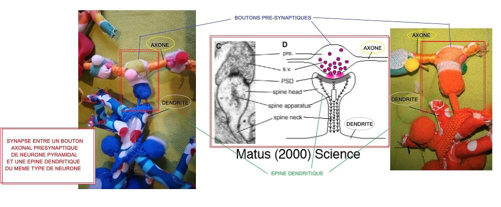3bis légendé Synapse neurones pyramidaux