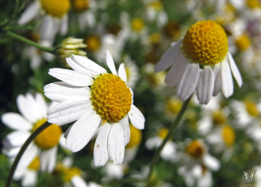 Image result for chamomile flower