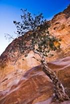 Tree of Petra