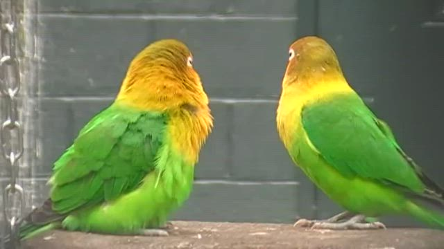 fischer's lovebird display